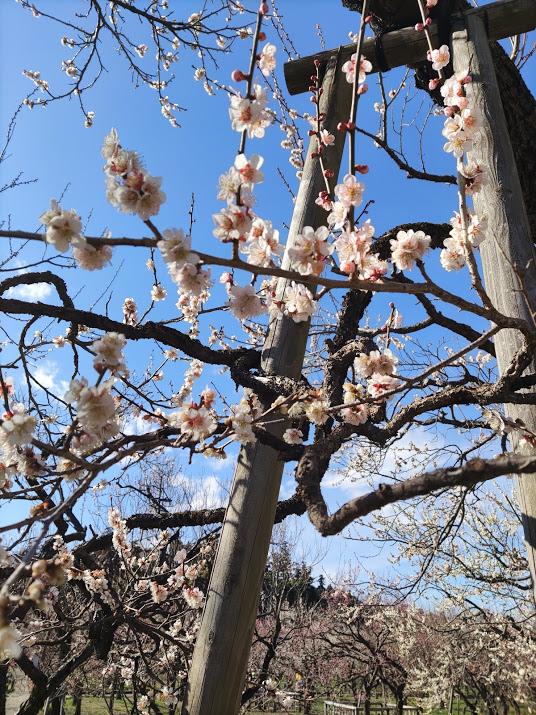 【茨城どうでしょう】日本三名園の一つ 偕楽園はどうでしょう