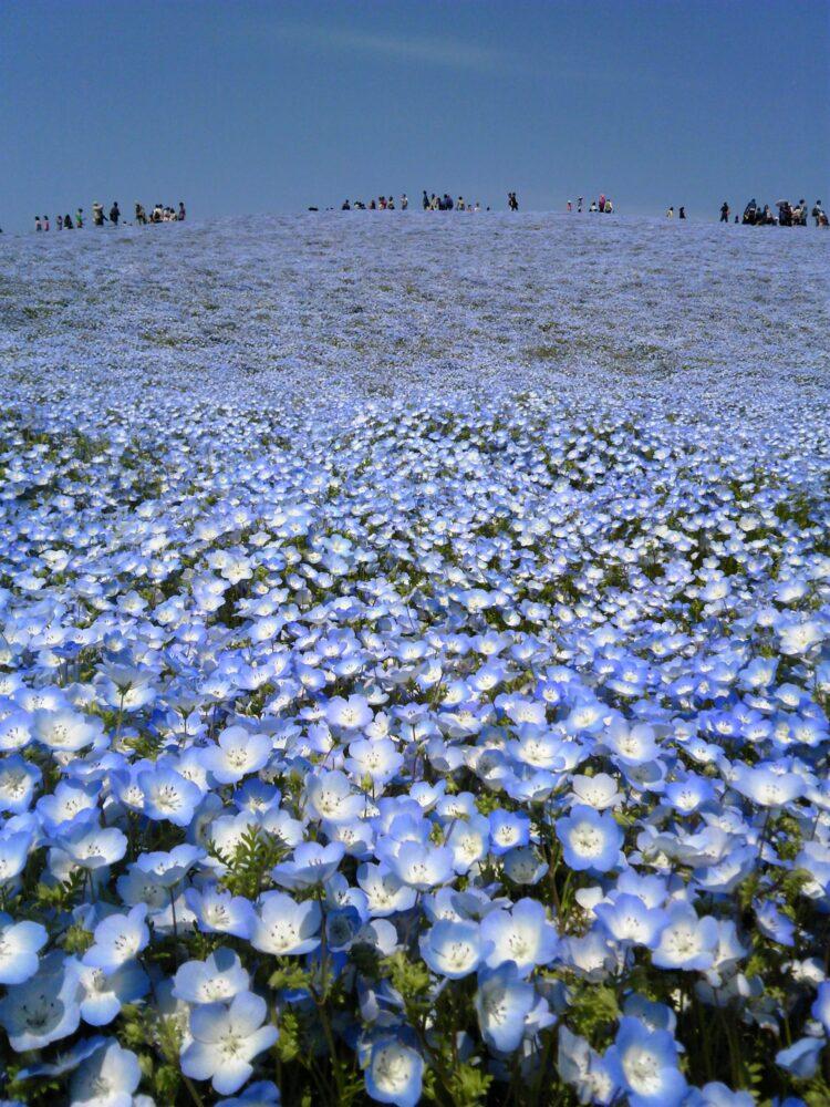 【茨城どうでしょう】雨の日にネモフィラどうでしょう~国営ひたち海浜公園~