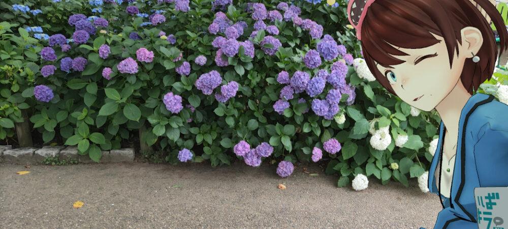【茨城どうでしょう】梅雨に紫陽花はどうでしょう~保和苑であじさい編~